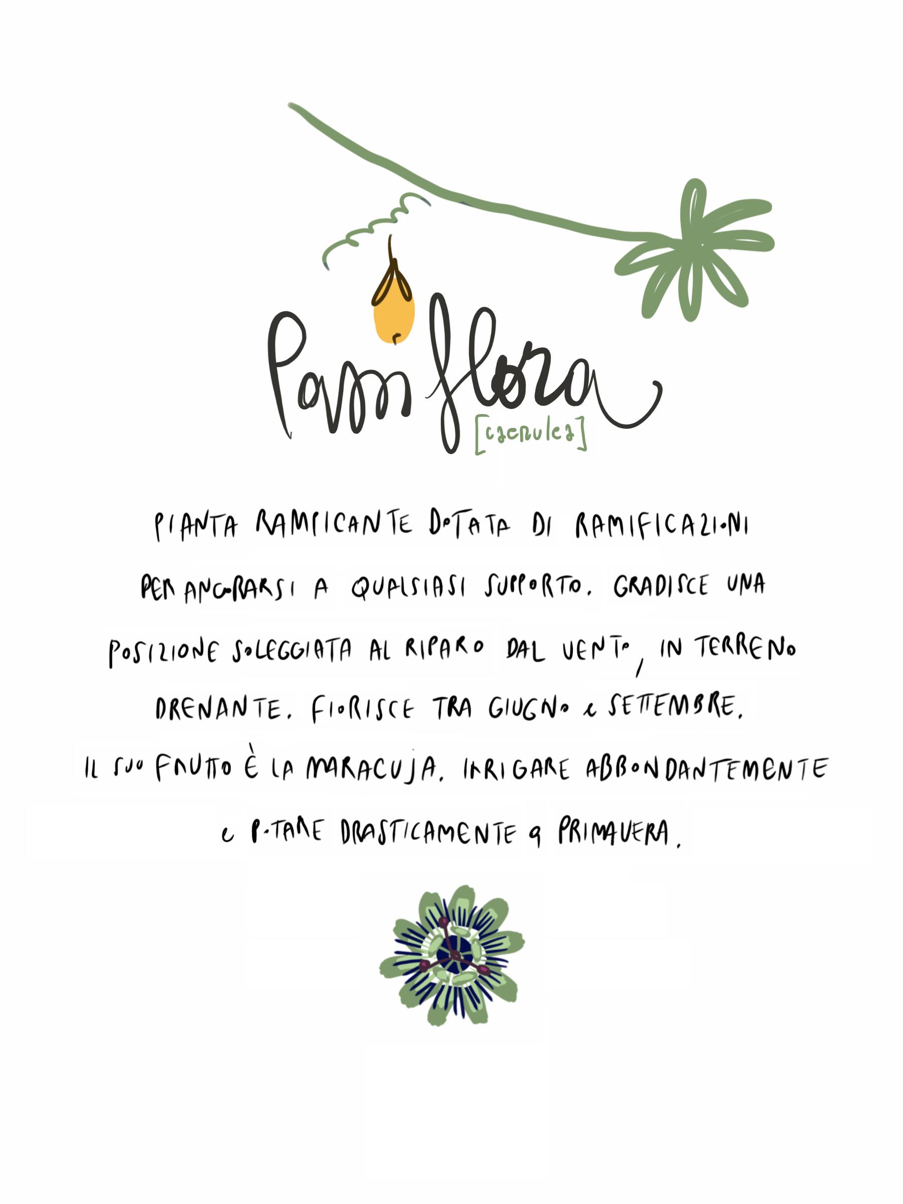 Passiflora flower illustration by Silvana Mariani